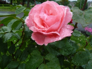 Queen Elizabeth HBTea Rose