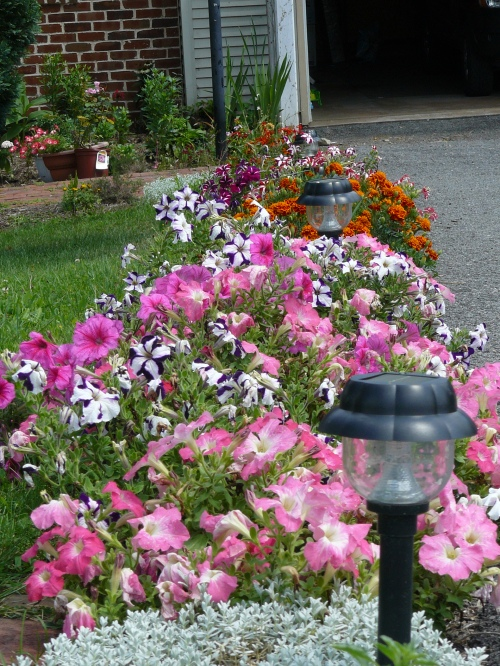 Pink petunias & Marigolds & profusion orange zinnia