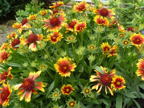 Gallardia/blanket flower with evening primrose