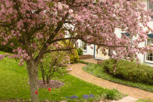 Crab apple and magnolia tree