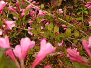 Weigela -wines and roses