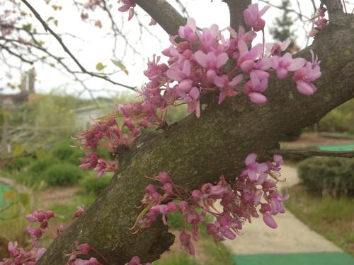 Flowering Red Bud Tree