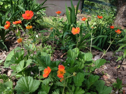Mrs. Bradshaw Geranium Orange