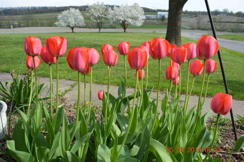 Dianne's Mother's Tulips , Spring 2014