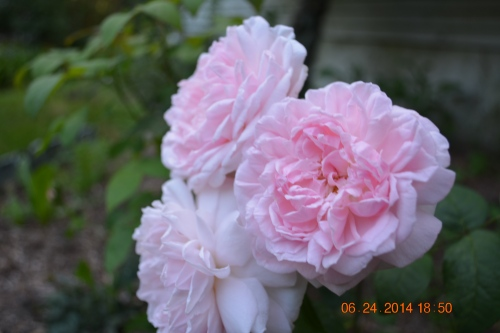 Eglantyne English Rose