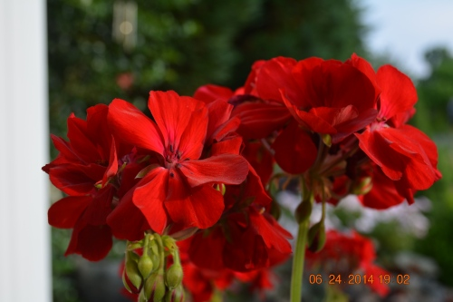 Caliope dark Red Geranium